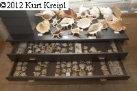 Xenophoridae-collection: 2 drawers filled with <i>Xenophora pallidula</i>